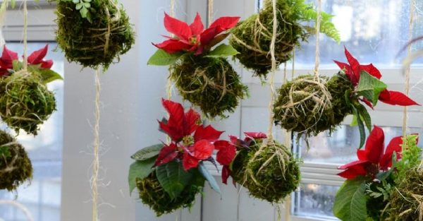 Admirable Ways to Display Poinsettias for the Holidays
