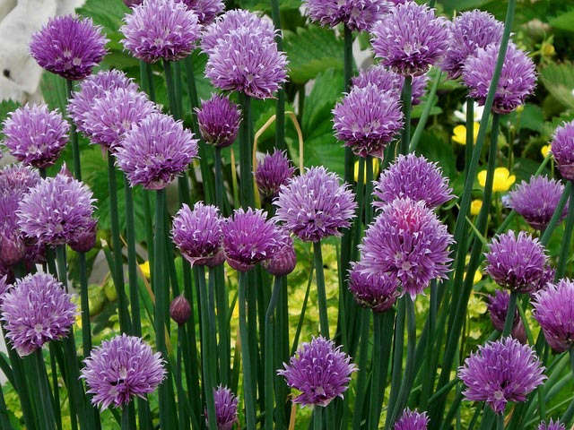 Cheerful chives #gardens #gardening #gardenideas #vegetables #gardeningtips #decorhomeideas