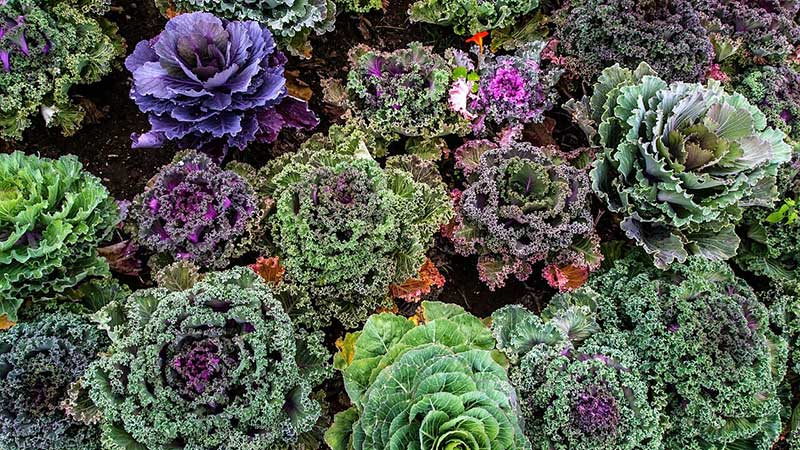 colorful kale