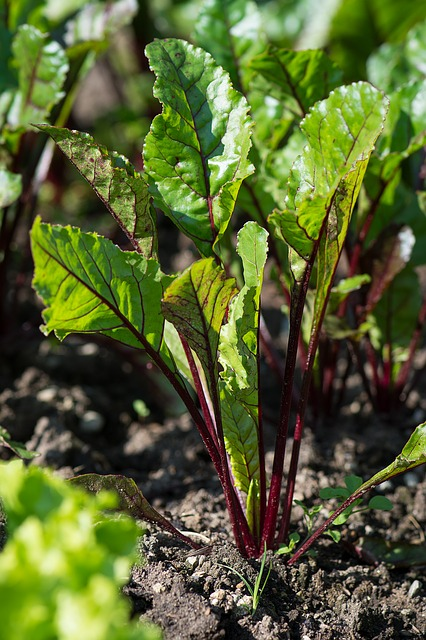 Dramatic red veined beets #gardens #gardening #gardenideas #vegetables #gardeningtips #decorhomeideas
