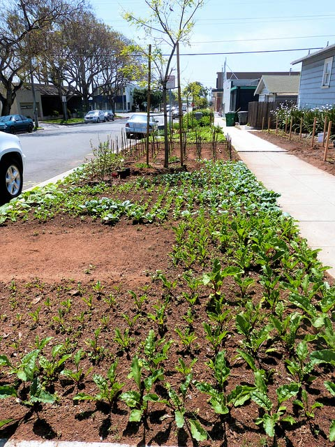 Hell strips cropping by the curb #gardens #gardening #gardenideas #vegetables #gardeningtips #decorhomeideas