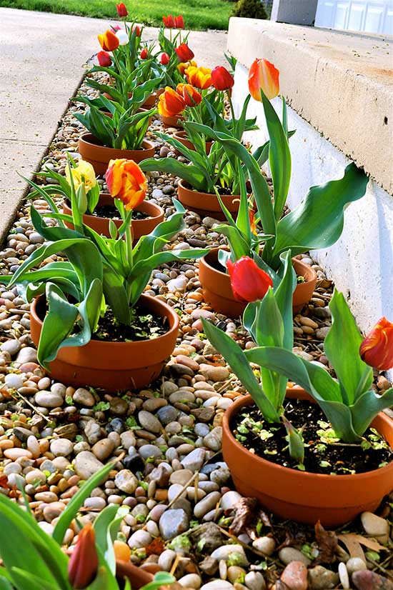 Tulips Flower Bed with Clay Pots #flowerbed #gardens #decorhomeideas