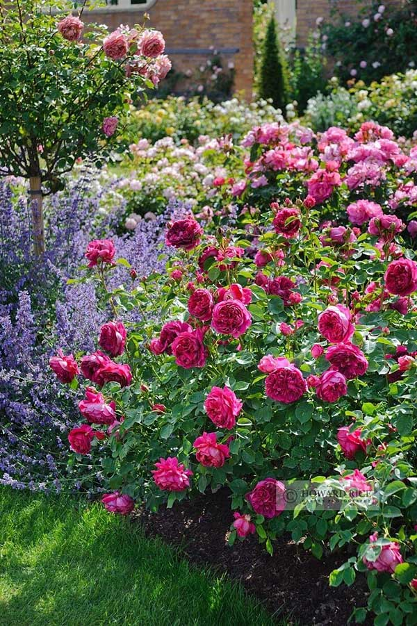 Rose and lavender flower bed idea #flowerbed #flowerpot #gardens #gardenideas #planter #gardeningtips #decorhomeideas