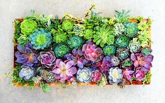 Rainbow colored succulents in a planter. #succulent #succulentlove #gardens #succulents #decorhomeideas #planter