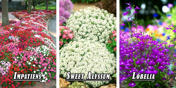 Raised bed flower types - Sweet Asyllum, Impatiens, Lobelia