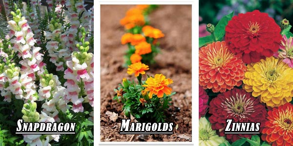 Small garden flowers - Snapdragon, Marigolds, Zinnias