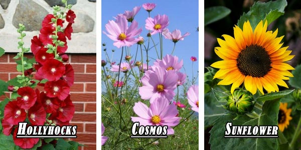 Tall flowers - Sunflower, Hollyhocks, Cosmos flower