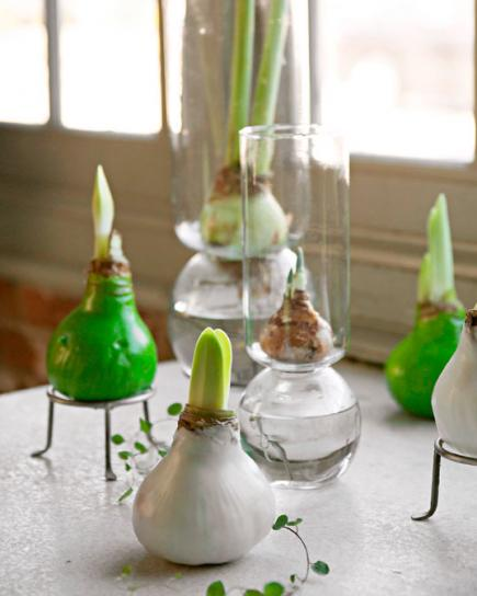 Amaryllis bulbs #Christmas #Christmasdecor #nature #natural #natureinspired #decorhomeideas