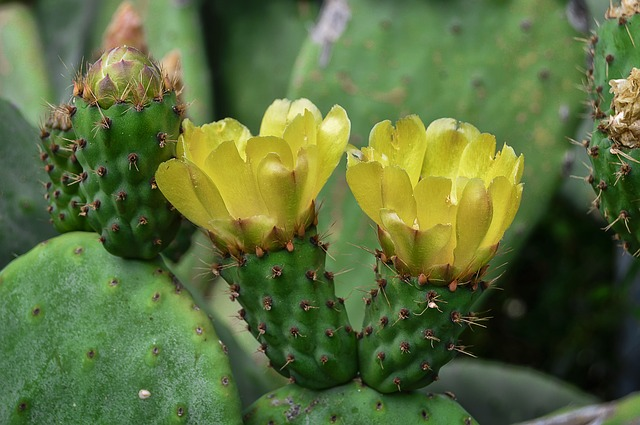 Prickly Pear With Yellow #pricklypear #yellowflower #decorhomeideas