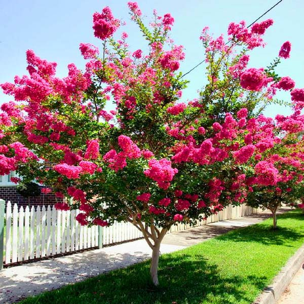 Crepe Myrtle Spring Tree #spring #trees #springtrees #garden #decorhomeideas