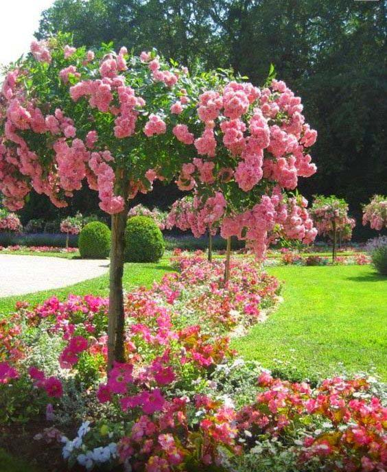 French Rose Spring Flowering Tree #spring #trees #springtrees #garden #decorhomeideas