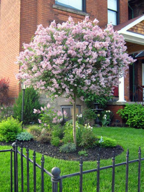 Lilac Kiss Spring Flowering Tree #spring #trees #springtrees #garden #decorhomeideas