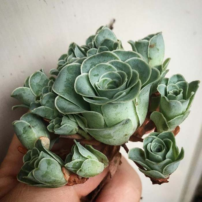 Amazing Rose Succulents #succulent #garden #rose #decorhomeideas