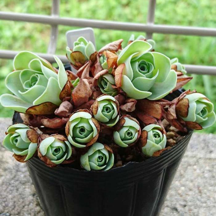 Bucket Full Of Rose Succulents #succulent #garden #rose #decorhomeideas
