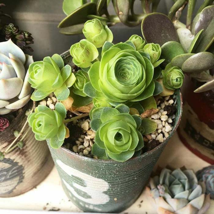 Farmhouse Rose Succulents #succulent #garden #rose #decorhomeideas