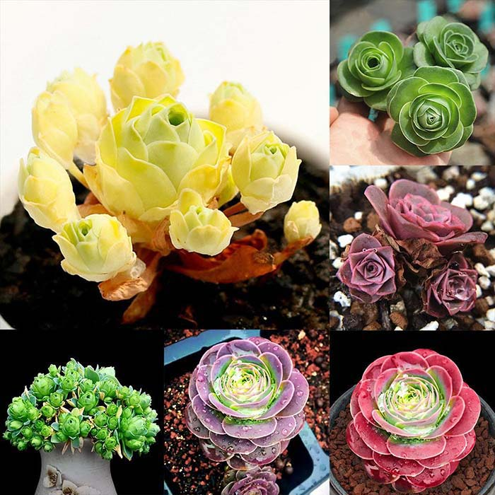 Full Of Color Rose Succulents #succulent #garden #rose #decorhomeideas