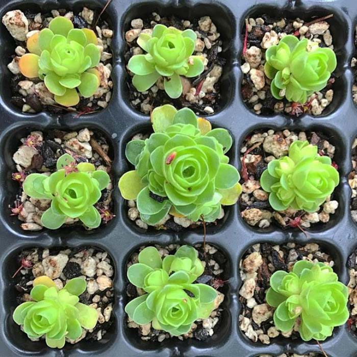 Grid Of Rose Succulents #succulent #garden #rose #decorhomeideas