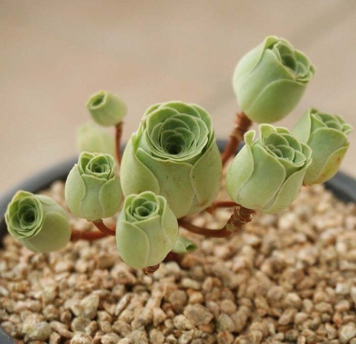 Rose Succulents Photo #succulent #garden #rose #decorhomeideas