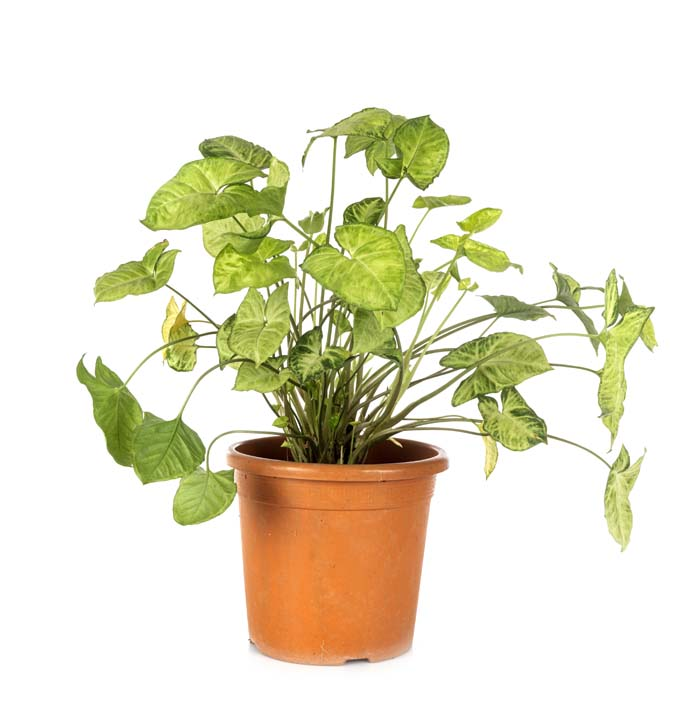 Arrowhead Vine Houseplant #houseplant #grow #easy #decorhomeideas