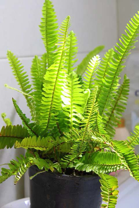 Boston Fern Houseplant #houseplant #grow #easy #decorhomeideas