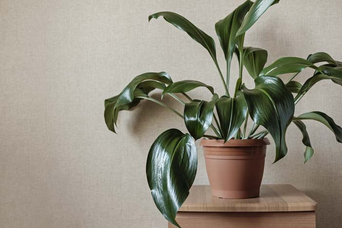 Cast-Iron Plant #houseplant #grow #easy #decorhomeideas
