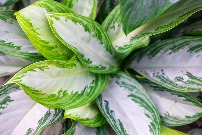 Chinese Evergreen #houseplant #grow #easy #decorhomeideas