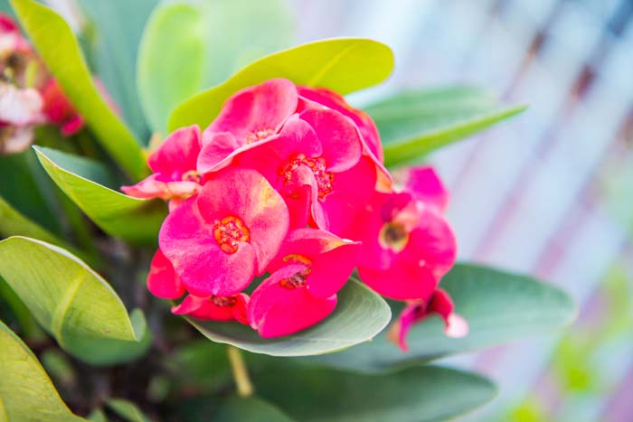 Crown of Thorns #houseplant #grow #easy #decorhomeideas