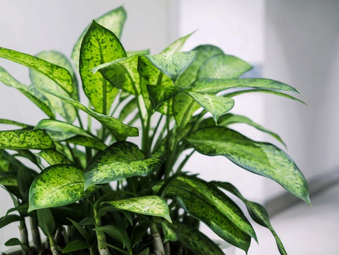 Dieffenbachia #houseplant #grow #easy #decorhomeideas