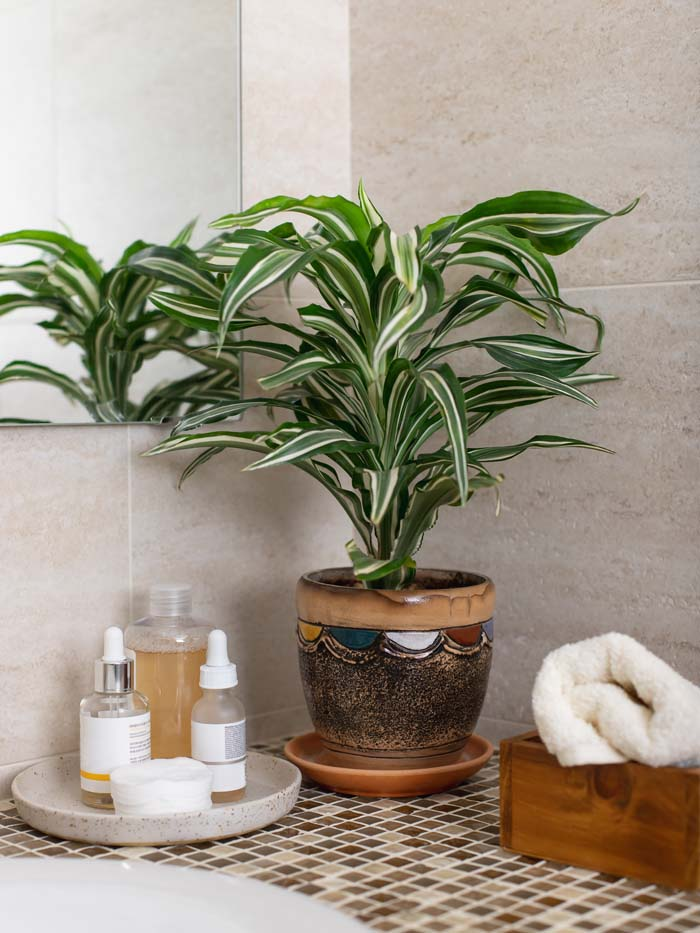 Dracaena #houseplant #grow #easy #decorhomeideas