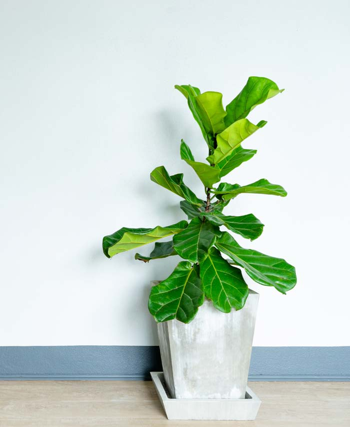 Fiddle Leaf Houseplant #houseplant #grow #easy #decorhomeideas