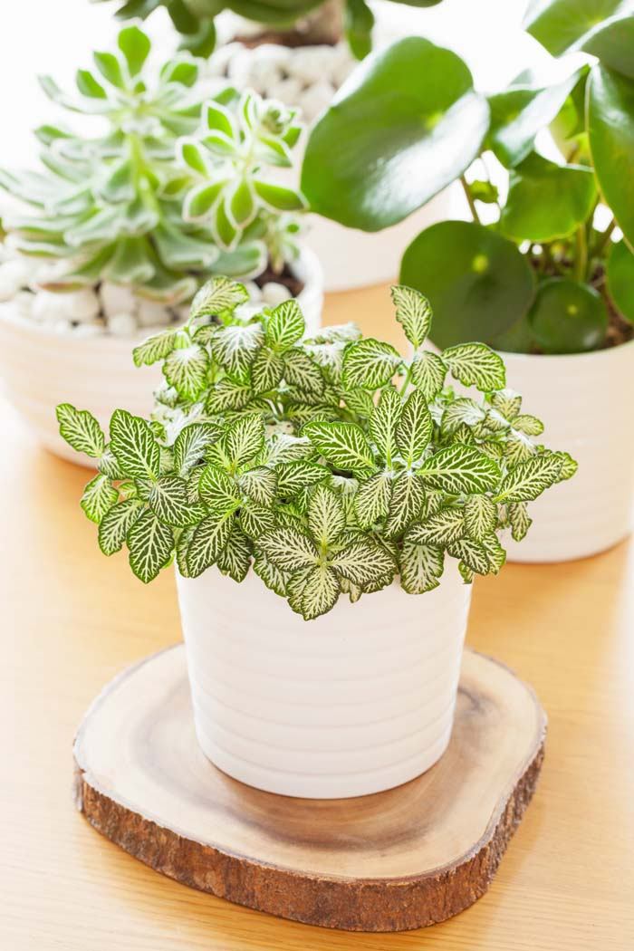 Fittonia Albivenis #houseplant #grow #easy #decorhomeideas