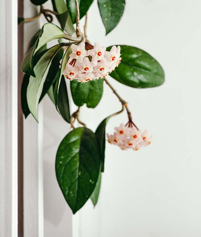 Hoya #houseplant #grow #easy #decorhomeideas