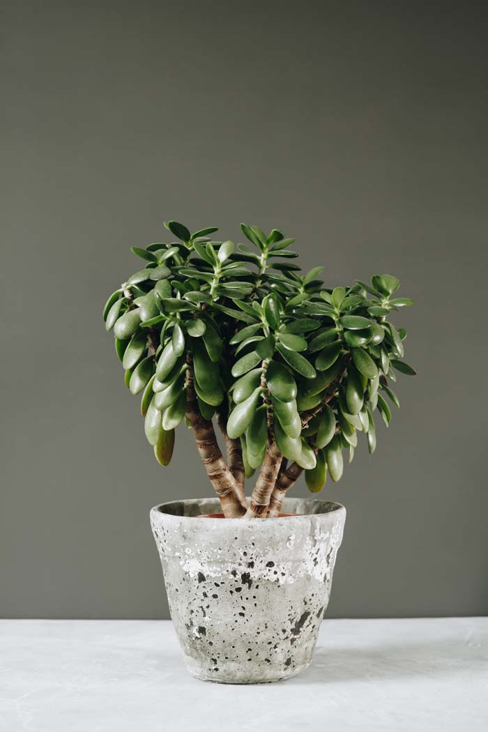 Jade Plant #houseplant #grow #easy #decorhomeideas
