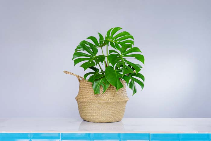 Philodendron #houseplant #grow #easy #decorhomeideas