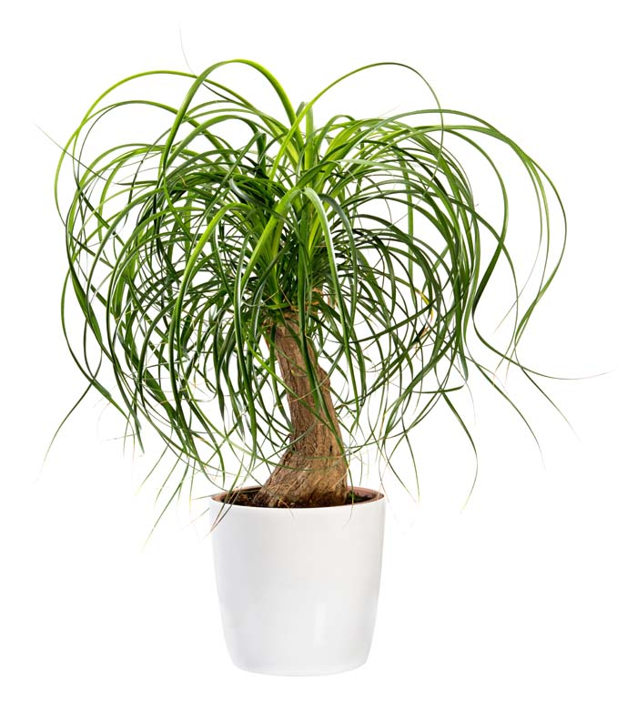 Ponytail Palm #houseplant #grow #easy #decorhomeideas