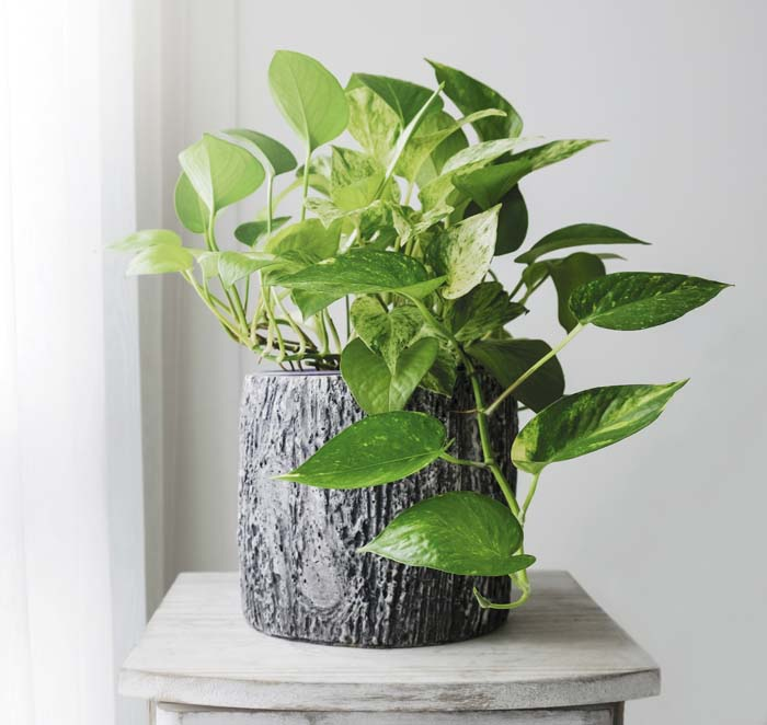 Pothos #houseplant #grow #easy #decorhomeideas