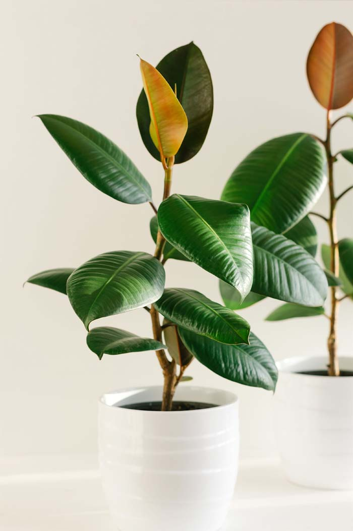 Rubber-Tree #houseplant #grow #easy #decorhomeideas
