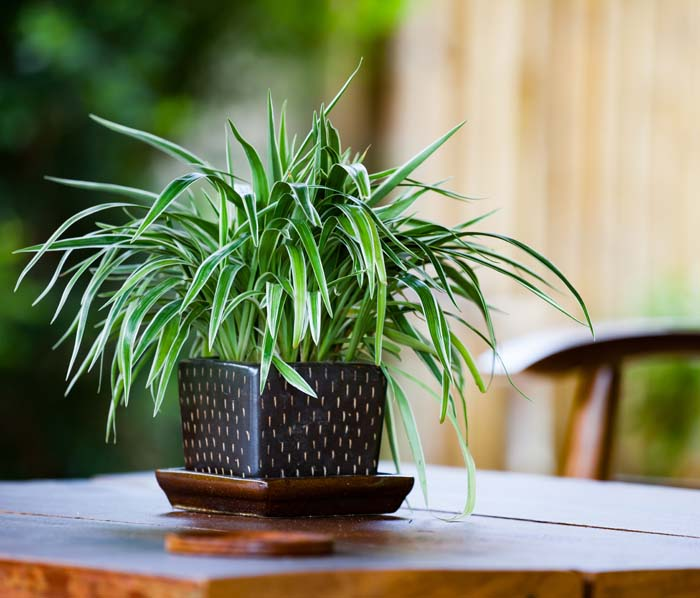 Spider Plant #houseplant #grow #easy #decorhomeideas