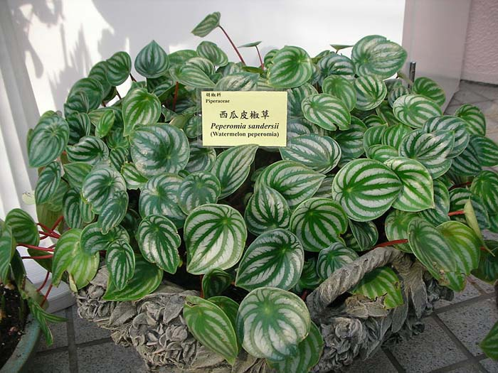 Watermelon Peperomia #houseplant #grow #easy #decorhomeideas