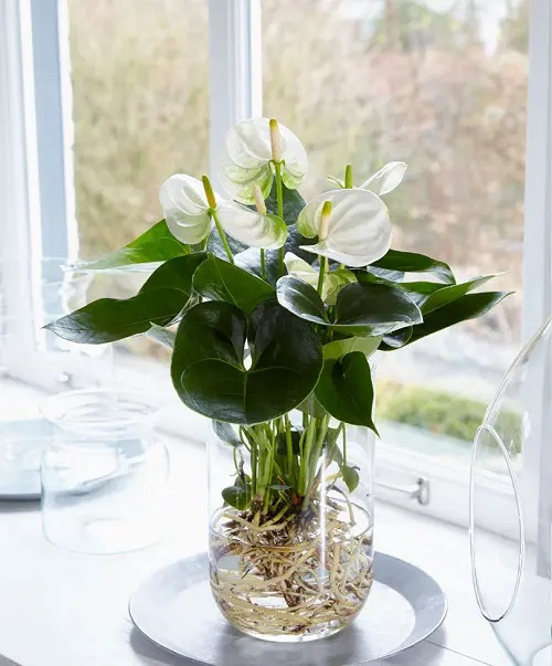 Anthurium #plant #indoor #vase #decorhomeideas