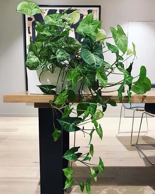 Arrowhead Plant #houseplant #vine #climbingplant #decorhomeideas