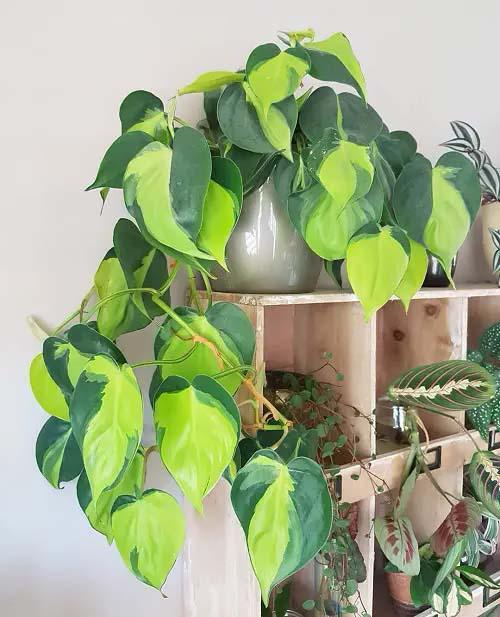Heartleaf Philodendron #houseplant #vine #climbingplant #decorhomeideas