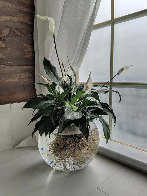 Peace Lily #plant #indoor #vase #decorhomeideas