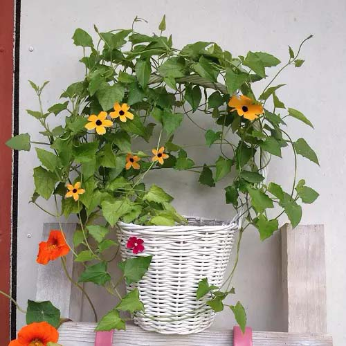 Black Eyed Susan Vine #houseplant #cuttings #grow #decorhomeideas