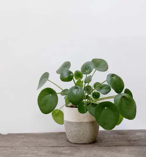 Chinese Money Plant #houseplant #cuttings #grow #decorhomeideas