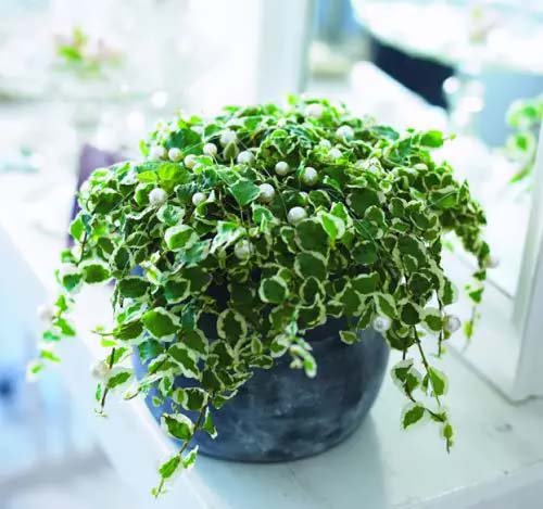 Creeping Fig #houseplant #cuttings #grow #decorhomeideas