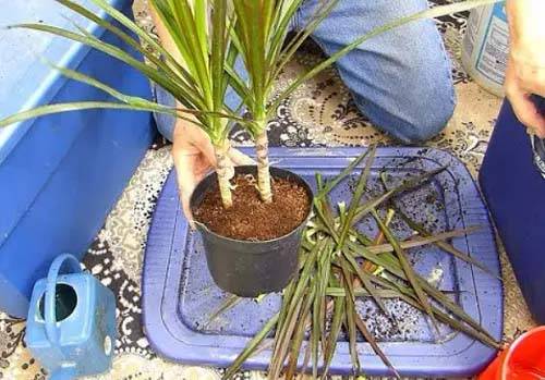 Dragon Tree #houseplant #cuttings #grow #decorhomeideas