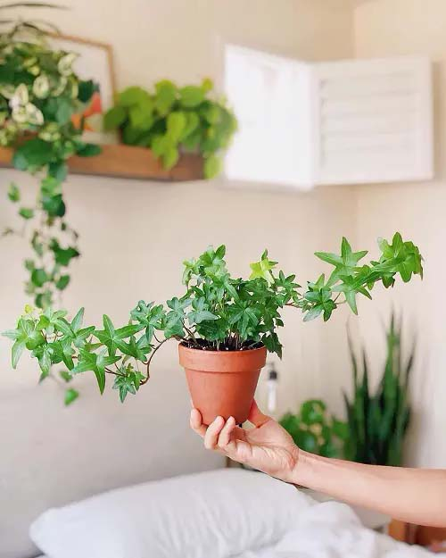 English Ivy #houseplant #cuttings #grow #decorhomeideas