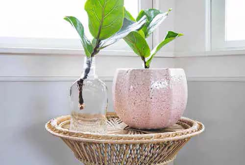 Fiddle Leaf Fig #houseplant #cuttings #grow #decorhomeideas