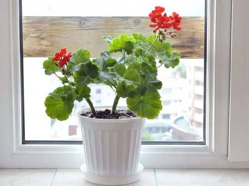 Geraniums #houseplant #cuttings #grow #decorhomeideas